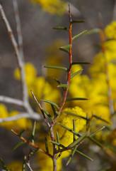 Acacia ?, Toolibin, east of Narrogin, WA, 15/09/17 (Russell Cumming) Tags: atn plant acacia mimosaceae toolibin narrogin westernaustralia