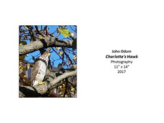 """Charlotte's Hawk • <a style=""""font-size:0.8em;"""" href=""""https://www.flickr.com/photos/124378531@N04/37067205774/"""" target=""""_blank"""">View on Flickr</a>"""