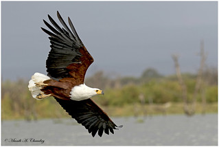 The Fish Eagle!