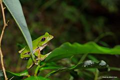 DSC_6417 (Albert-Chen) Tags: 新店 烏來 四崁水 翡翠水庫 樹蛙 赤蛙 青蛙 微距攝影 frog d700 nikon 生態
