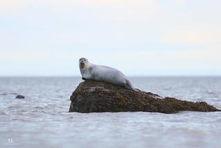 Phoque commun - Harbor seal - Phoca vitulina
