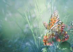A Story of Butterfly Dreams (Charles Opper [Catching Up]) Tags: agraulisvanillae canon georgia gulffritillary heliconiinae lantana nymphalidae passionbutterfly summer butterfly color doubleexposure dreamy flowers fritillary grass insect light warmth midway unitedstates
