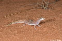 Beaded Gecko (Lucasium damaeum) (shaneblackfnq) Tags: beaded gecko lucasium damaeum shaneblack lizard reptile desert arid googs track south australia outback