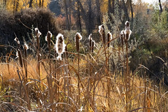 Cattails 2017 (Chuckcars) Tags: colorado montrose usa cattail autumn riverbottom park cerise