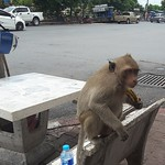 lopburi-monkeys-1 thumbnail