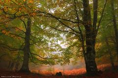 Autumn lights (Hector Prada) Tags: bosque otoño niebla hojas color atmósfera arboles árbol mágico misterioso forest autumn fog mist mood tree magic misterious spriritual leaves paísvasco basquecountry