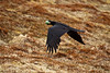 Breakfast to Go 1 (LongInt57) Tags: raven corvus bird flying egg food stealing robber green black brown nature wildlife capestmarys capesaintmarys newfoundland canada