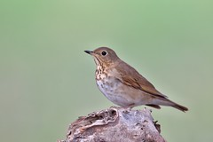 Hermit Thrush (Andrej Chudy) Tags: bird birding birdwatching usa america trip canon wild wildlife animal nature outdoor fullframe northamerica canon600mmf4isusm 1dx canon1dx songbird california