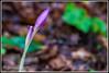 IMG_7230-1 (Gianni Giacometti) Tags: fiore fiori baciato rugiada giannigiacometti camminateinfriuli