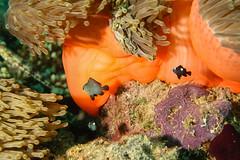 Nemo Junior. (Amphiriprion Nigripes). (omar.flumignan) Tags: nemo junior amphiriprionnigripes anemonefish arinorth nordari mayathila night dive immersione notturna mysachika maldive maldives holiday vacanza flicktravelaward allnaturesparadise ngc canon g7xmk2 fantasea fg7xmk2 ikelite ds51