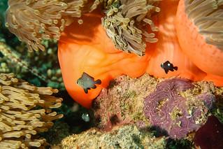Nemo Junior. (Amphiriprion Nigripes).