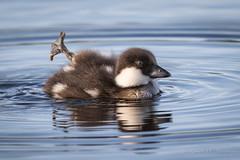 Common Goldeneye  - Duckling (Turk Images) Tags: bucephalaclangula commongoldeneye divingduck jimpoolemarsh alberta anatidae birds cogo duckling waterfowl