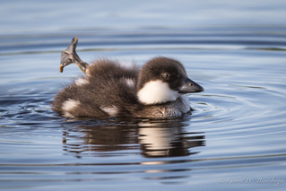 Common Goldeneye  - Duckling