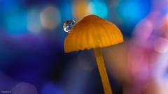 Mushroom -(3835) (YᗩSᗰIᘉᗴ HᗴᘉS +8 500 000 thx❀) Tags: mushroom champignon fungus nature macro bokeh bokehlicious beyondbokeh canon canoneos7dmarkii hensyasmine color drop droplet goutte flora plante 7dwf
