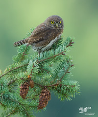 Christmas Card Candidate (Northern Pygmy Owl) (The Owl Man) Tags: