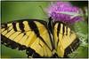 Yellow and Black butterfly macro (Steve4343) Tags: nikon d70s yellow black butterfly nature stripes purple thistle green beautiful beauty appalachiantrail steve4343
