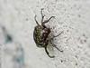 Aged Flower Beetle (umijin) Tags: arthropoda coleoptera flowerbeetle guahan guam hexapod insecta latteheights mangilao scarabbeetle scarabeidae territoryofguam usa animal arthropod beetle insect