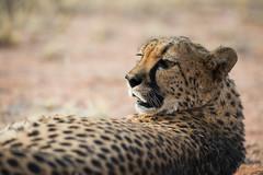 cheetah (Guy Goetzinger) Tags: gepard tiere cheetah wildlife cat closeup animal africa namibia safari nikon goetzinger nature portrait hammerstein mammal tier säugetier bush national park hunter predator afrique namibie travel voyage natinal 2018 живо́тное 动物 動物 dòngwù bete