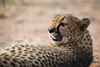 cheetah (Guy Goetzinger) Tags: gepard tiere cheetah wildlife cat closeup animal africa namibia safari nikon goetzinger nature portrait hammerstein mammal tier säugetier bush national park hunter predator afrique namibie travel voyage natinal 2018