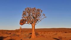 im Licht der untergehenden Sonne (marionkaminski) Tags: nambia afrika africa braum tree arbre arbol landscape paisaje paysage abendlicht sunsetlight pansonic lumixfz1000
