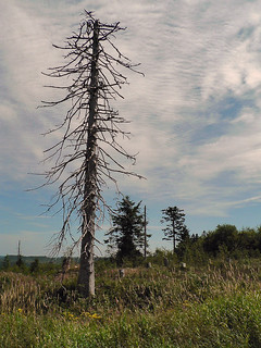 Dead tree, near Simonswald - Germany (1100758)