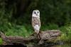 I'm behind you! 750_0483.jpg (Mobile Lynn) Tags: owls barnowl birds nature bird fauna strigiformes tytoalba wildlife nocturnal otterbourne england unitedkingdom gb coth specanimal ngc coth5 sunrays5 npc
