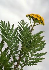 Tanacetum vulgare, la tanaisie commune, the tansy. (chug14) Tags: plantae plante flower fleur asteraceae composées tanaisie tanaisiecommune tanaisievulgaire tansy sentbon chrysanthemumtanacetum chrysanthemumvulgare tanacetumofficinarum tanacetumvulgare