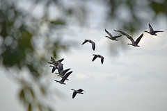 a1DSC_5909 (Warmphoto) Tags: geeseflying lakewood colorado