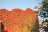 Autumn Colors | Kaunas #266/365 (A. Aleksandravičius) Tags: autumn leaf lietuva colors red green leaves wall lithuania nikon lensbaby composer pro edge80 edge80optic 80mm lensbaby80 nikond810 d810 365days 3652017 365 project365 266365 selectivefocus