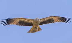 lagoon creek - whistling kite overhead #2 (Fat Burns ☮ (on/off)) Tags: whistlingkite haliastursphenurus kite raptor bird australianbird fauna australianfauna hawk nikond500 sigma150600mmf563dgoshsmsports lagooncreek barcaldine queensland australia nature outback outdoors