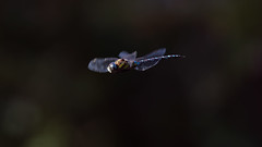 a Dragonfly in flight (2) : brake ! (Franck Zumella) Tags: dragonfly insect insecte small fly flying vol voler libellule nature