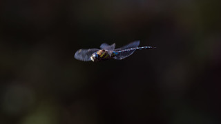 a Dragonfly in flight (2) : brake !