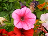 Beautiful Petunia, Thurso, July 2016 (allanmaciver) Tags: petunia nice bright pink sharp colour stand out delight enjoy admire colours gardens caithness sutherland north scotland allanmaciver