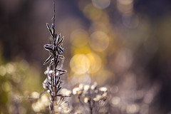 Bokehlicious (CecilieSonstebyPhotography) Tags: norway autumn october flowers høst flower bokehliscious sunlight bokeh fall deadflowers dead ngc npc