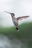Costa-Rica-5819.jpg (ingmar_) Tags: costarica fauna gezin natuur vakantie vogel zomervakantie
