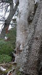 Sierra Las Nievas (Viaggiare nel Pollino di Giuseppe Cosenza) Tags: abies pinsapo nievas abete spagnolo pinsapar