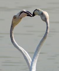 Dubai ,Ras al Khor bird sanctuary,02Oct17.01 (Pervez 183A off for a while) Tags: heart flamingos dubai rasalkhor birdsanctuary