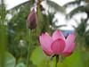 Sacred Lotus 'Chinese Red Xibeipo' Wahgarden Klong15 004 (Klong15 Waterlily) Tags: chinared lotus lotusflower flower sacredlotus thailotus nelumbo nelumbonucifera pond
