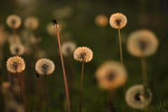 (ooo) (SimonaPolp) Tags: dandelions sunset october fall autumn nature light macro bokeh green