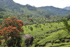 (Richard Langham) Tags: india classic car ambassador tour southern kerala tea plantation kerela tamil nadu