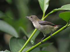 Scarlet-backed Flowerpecker (ChongBT) Tags: nature wildlife animal outdoor bird avian malaysia garden scarlet backed flowerpecker dicaeum cruentatum