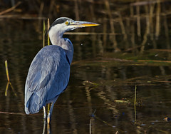 Grey Heron (Ardea cinerea ) - Starting the night shift !! (Clive Brown 72) Tags: dusk pond dark water hunting patience hunter heron wales october patient twilight