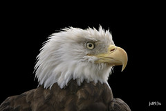 Bald Eagle (jt893x) Tags: 150600mm americanbaldeagle baldeagle bird d500 eagle haliaeetusleucocephalus jt893x nikon nikond500 portrait profile raptor sigma sigma150600mmf563dgoshsms specanimal
