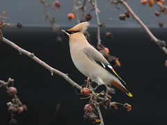 Another antidote (roger_forster) Tags: bombycillagarrulus waxwing whiteley segensworth fareham hampshire wild birds migrants winter visitors berries feeding shopping centre mall