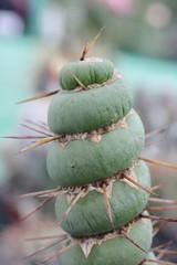Eulychnia castanea f. spiralis (pazzapped) Tags: eulychnia castanea spiralis monstrose monstrosa monstrosity monstr fasciate fasciation cactus freak