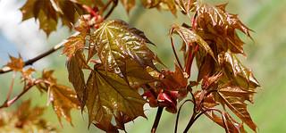 Foliage and Blossom P5120346