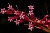 Dracophyllum macranthum (andreas lambrianides) Tags: dracophyllummacranthum ericaceae dracophyllumspnovlongiflorum australianflora australiannativeplants redflowers threatenedspecies nsw