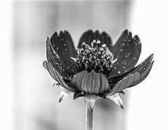 "Pixie Dust (Silke Klimesch) Tags: 7dwf thursdaysbwandsepia hmbt monochromebokehthursday blackandwhite bokeh bw monochrome flower pollen pixiedust schwarzweis blume blütenstaub berlin dahlem königlichegartenakademie fleur noiretblanc flor polen blancoynegro pretoebranco pólen biancoenegro pollino flora svartvit kwiat цветок чёрнобелый пыльца 花朵 黑白​的 cosmosatrosanguineus""chocamocha®"" schokoladenkosmee kosmee cosmea schmuckkörbchen cosmos asteraceae"