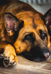 Cira II (janmalteb) Tags: germany deutschland bremen dog hund portrait german shepherd deutscher schäferhund canon eos 1000d 50mm macro bokeh