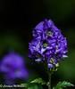 Aconitum Carmichaelii 2 (Carolynn McMillan) Tags: bokeh monkshood aconitum purple closeup